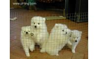 Japanese shitz puppies for sale