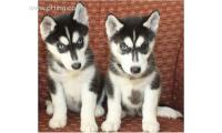 Fabulous Siberian Blue eyes husky puppies for xmas and new year