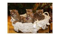 Serval and avannah kittens available
