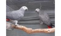 A pair of African grey parrots for new homes.