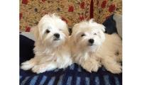 Gorgeous KC reg Maltese pups
