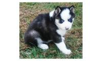 Siberian Husky Puppies For Christmas