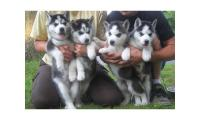 Male and female Blue eyes Siberian husky puppies(email: radoblanco@live.com)