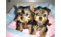 Yorkie puppies Ready To Go! !!!