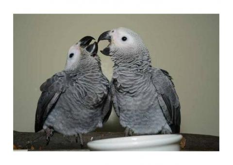 African Grey Parrots Hand Reared