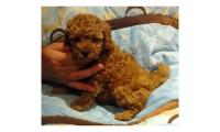Beautiful Toy Poodle Puppies For Sale