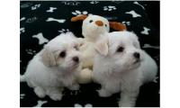 Two Intelligent Maltese Pups